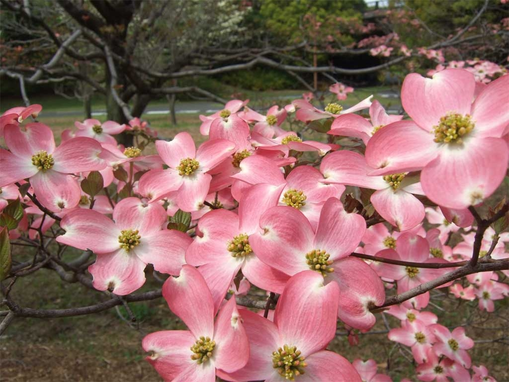 Flowering Dogwood (Hanamizuki)  These trees were first gifted to Tokyo 100 years ago, as a thank-you for the cherry blossoms planted in Washington, D.C. Today they can be seen blossoming around the city around April-May.