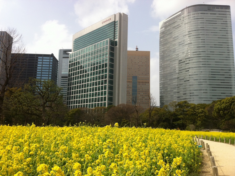 Rapeseed blossoms (nanohana) in Hama-rikyu Gardens. Best viewed in mid-March.