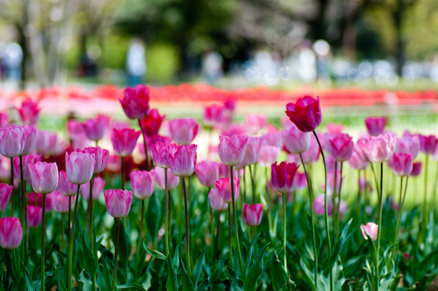 Tulips at Showa Kinen Park