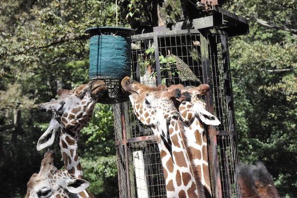 Tama Zoological Park (Giraffes)