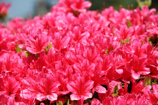 Azaleas (Tsutsuji) begin to bloom after the cherry blossoms fall, and last from mid-April to early May. Nezu Shrine will hold an Azalea Festival from April 11 to May 6.