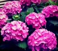 Photo_hydrangeas