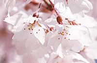 SakuraSpectacles2014_Edohigan