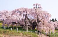 SakuraSpectacles2014_Shidarezakura