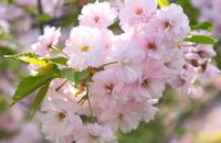 SakuraSpectacles2014_Yaezakura